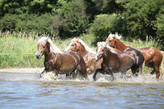 Batch of chestnut horses running in water Stock Photos