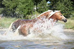 Batch of chestnut horses running in the wather. Batch of nice chestnut horses running in the wather in summer Stock Photo