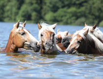 Batch of chestnut horses swimming in water Stock Image