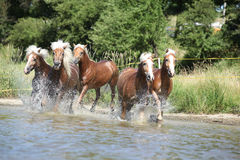 Batch of chestnut horses in water Stock Images