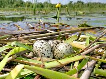 Batch of eggs. Nest with eggs on the river Dnieper Royalty Free Stock Image