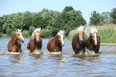 Batch of haflingers moving in the wather Stock Photos