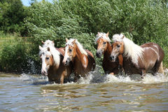 Batch of haflingers running in the wather Stock Images