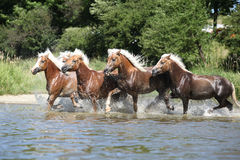 Batch of haflingers running in the wather Royalty Free Stock Photography