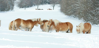 Batch of haflingers together in winter Royalty Free Stock Image