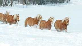 Batch of haflingers together in winter Stock Photo