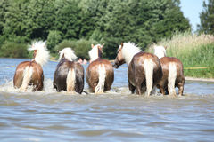 Batch of haflingers in water from behind Stock Photos
