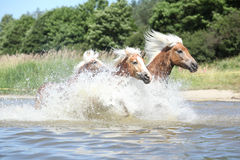 Batch of haflingers in water Royalty Free Stock Images
