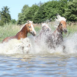Batch of haflingers in water Royalty Free Stock Photo