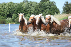Batch of haflingers in water Stock Photos