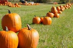 Pumpkins batch on a field stock photography
