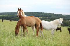 Batch of horses resting on pasturage Royalty Free Stock Photos