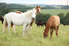Batch of horses resting on pasturage Stock Photos