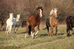 Batch of horses running in autumn Stock Photos