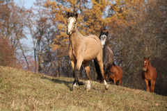 Batch of horses running in autumn Stock Image