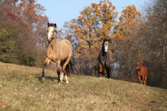 Batch of horses running in autumn Royalty Free Stock Photos