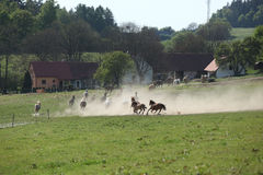 Batch of horses running away in the dust Royalty Free Stock Photo