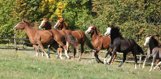 Batch of horses running on pasturage Stock Photography