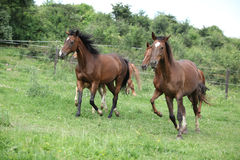 Batch of horses running on pasture Royalty Free Stock Photography