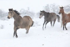 Batch of horses running in winter Royalty Free Stock Photo