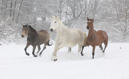Batch of horses running in winter Stock Image