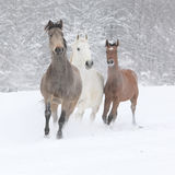 Batch of horses running in winter Stock Images