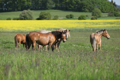 Batch of horses standing on flowering pasturage Royalty Free Stock Photography