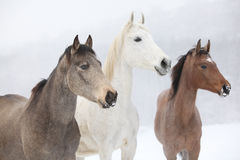 Batch of horses in winter Royalty Free Stock Photo