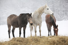 Batch of horses in winter Stock Photography
