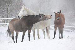 Batch of horses in winter Royalty Free Stock Photography