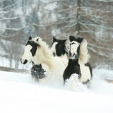 Batch of irish cobs running in winter Royalty Free Stock Images
