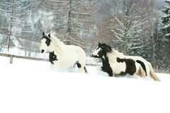 Batch of irish cobs running in winter Stock Photos