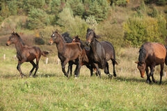 Batch of kabardin horses running in autumn