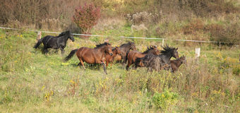 Batch of kabardin horses running in autumn Stock Images