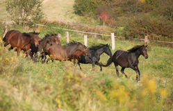 Batch of kabardin horses running in autumn. Batch of kabardin horses running together in autumn royalty free stock image