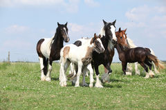 Batch of mares with foals on pasturage Royalty Free Stock Photography