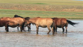 Batch of nice mongolian horses stock video footage