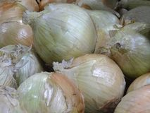 Onions in a bunch royalty free stock photo