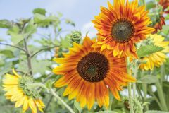 Sunflowers and blue sky. A batch of sunflowers with a blue sky background royalty free stock photos