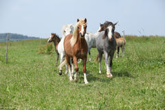 Batch of welsh ponnies running together on pasturage Stock Image