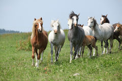 Batch of welsh ponnies running together on pasturage Stock Images