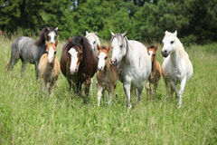 Batch of welsh ponnies running together on pasturage Royalty Free Stock Images