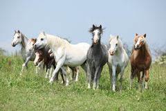 Batch of welsh ponnies running together on pasturage Royalty Free Stock Image