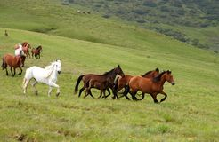 Batch of wild horses. Wild horses in Romanian mountain Rodna Stock Images