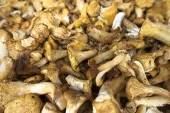 Batch of yellow white mushrooms. Tasty organic chanterelle mushroom at local market Royalty Free Stock Photo