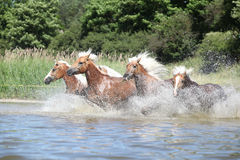 Batch of young chestnut horses in water. Batch of young chestnut horses running in water stock photos
