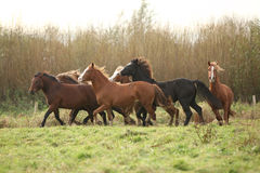 Batch of young welsh ponnies running. On green grass royalty free stock photography