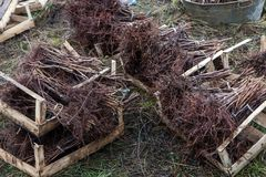 Batches of soaked raspberry seedlings saplings Stock Image