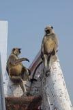 Bate-papo do macaco de dois Langur Fotografia de Stock