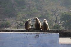 Bate-papo do macaco de três Langur Fotografia de Stock